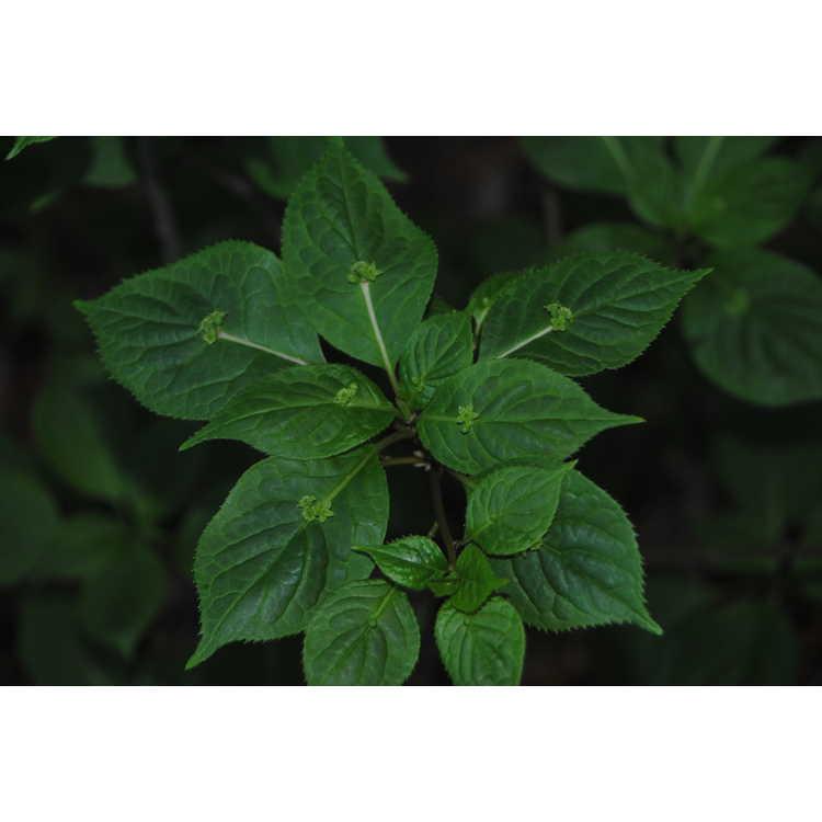 Helwingia japonica japonica