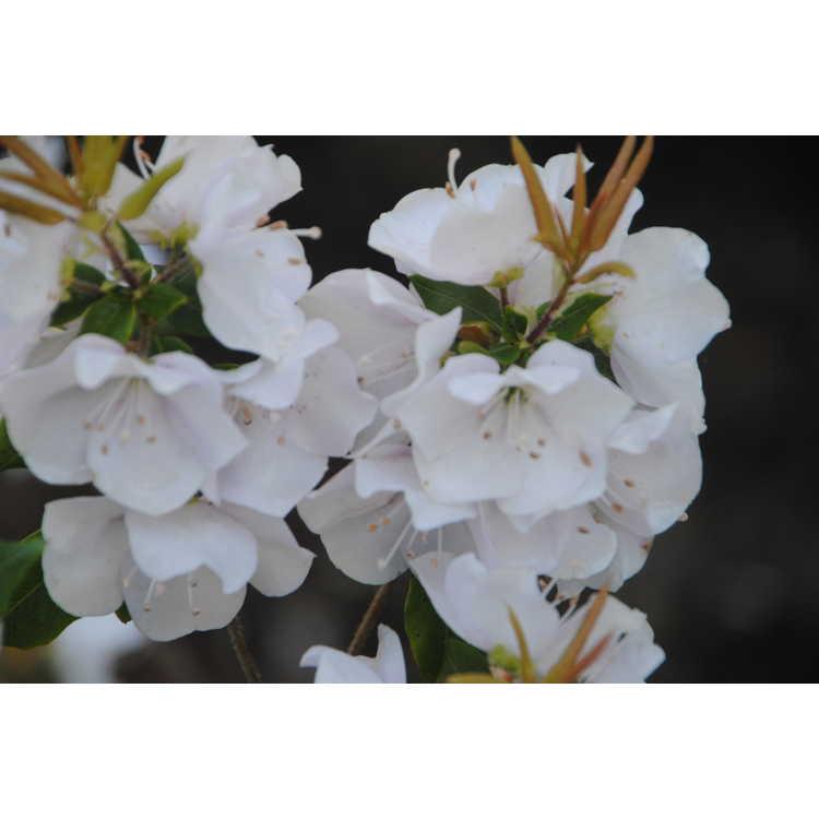 Rhododendron uwaense
