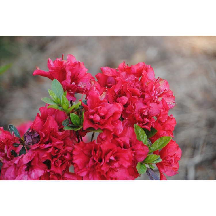 Rhododendron 'Roblez'