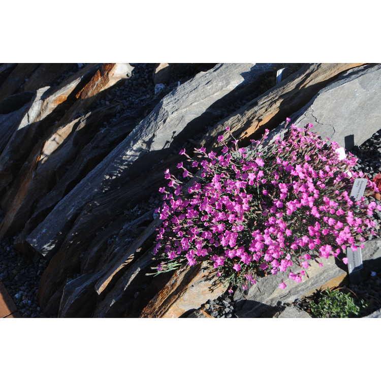 Dianthus (ex. 'Blue Hills')