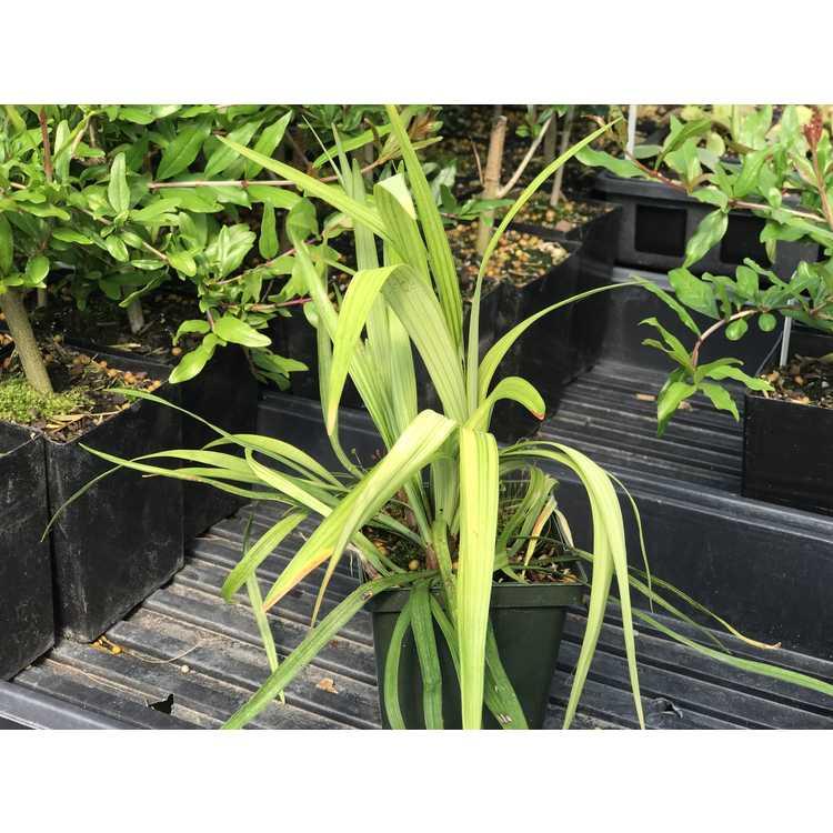 Liriope platyphylla - wide-leaf monkey grass
