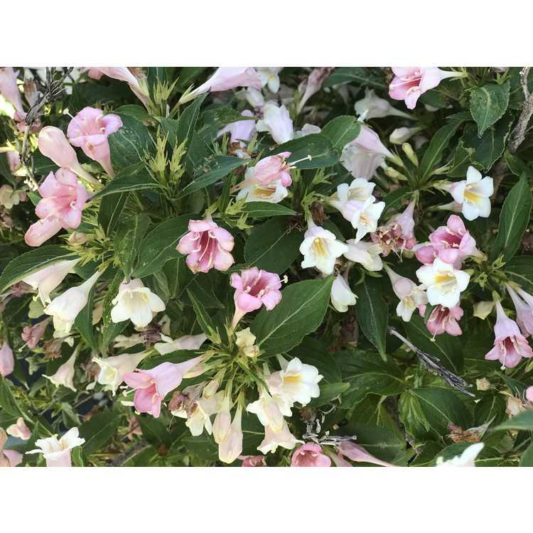 Weigela florida 'Bokrasopea' - Sonic Bloom Pearl reblooming weigela