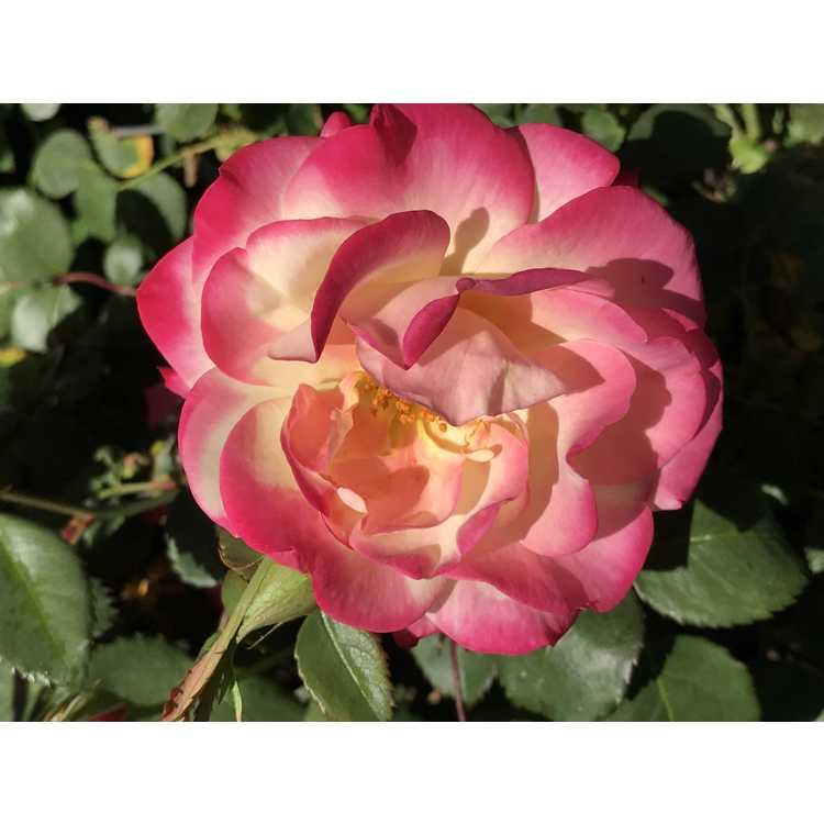 Rosa 'Ca 29'