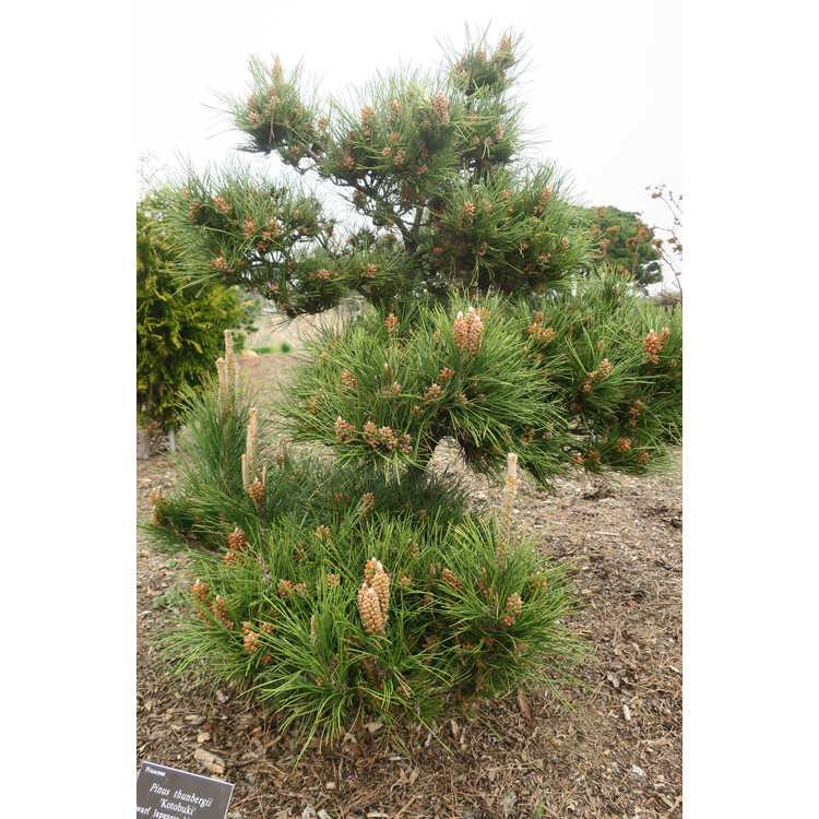 Pinus thunbergii 'Kotobuki'