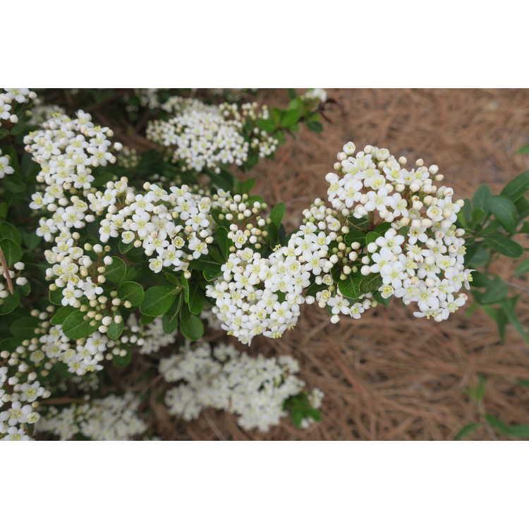 Viburnum obovatum 'Compacta' - compact Walter's viburnum