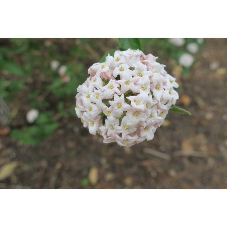 Viburnum ×burkwoodii 'Duvone'