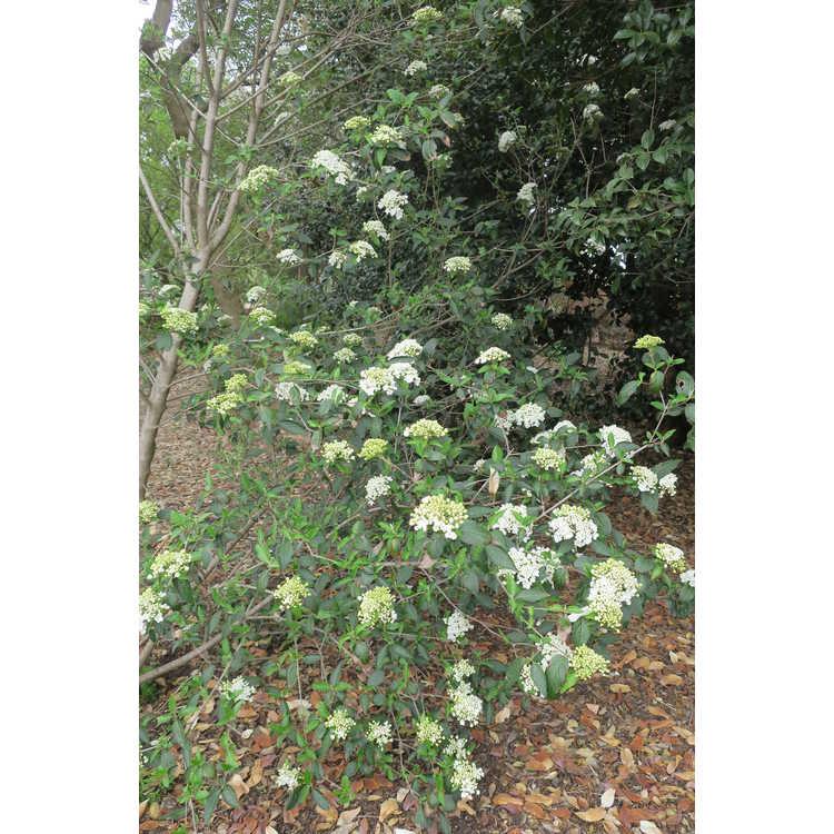 Viburnum 'Nantucket' - hybrid viburnum