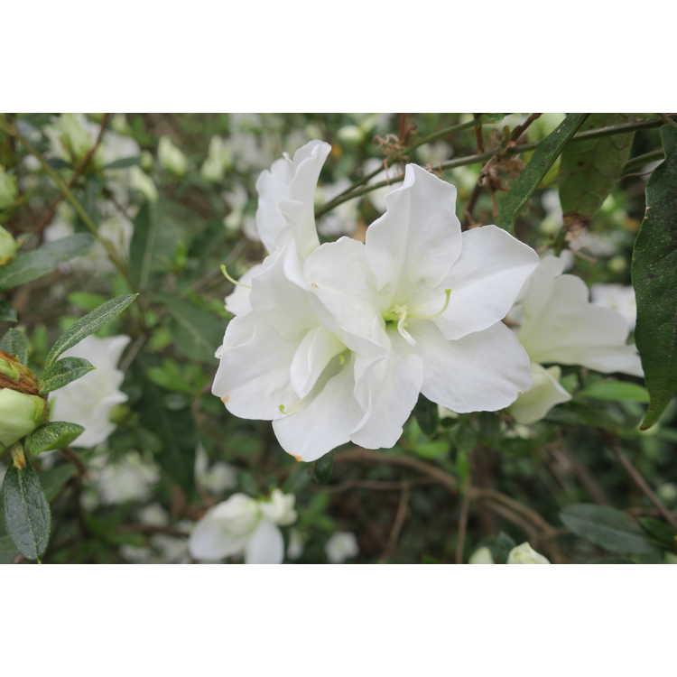 Rhododendron Alaska
