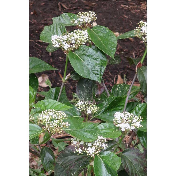 Viburnum japonicum 'Superbum'