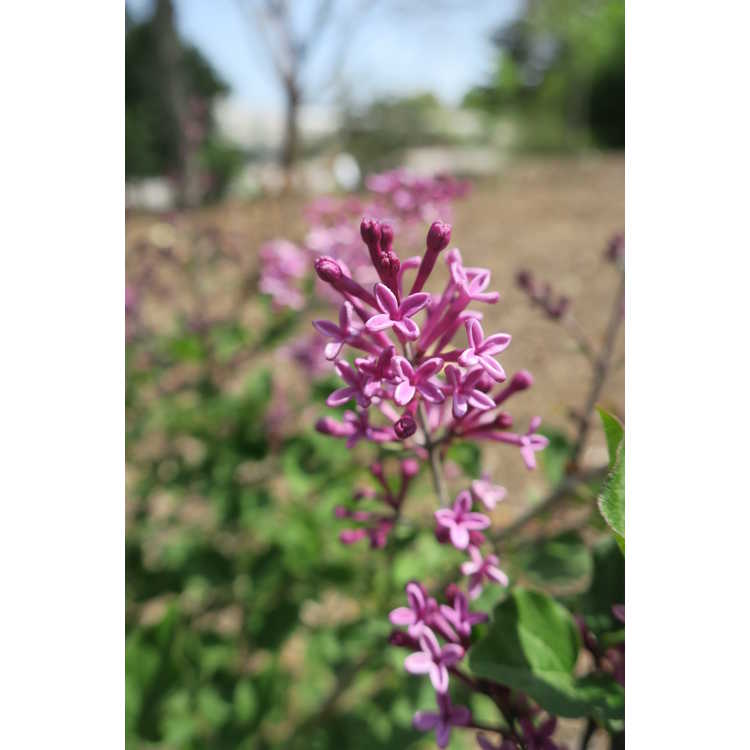Syringa 'Smsjbp7' - Bloomerang Dark Purple re-blooming lilac