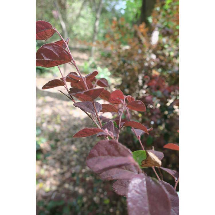Loropetalum chinense var. rubrum 'Ruby'