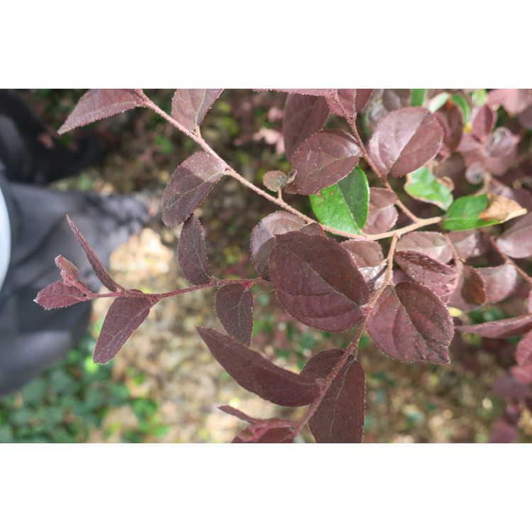 Loropetalum chinense var. rubrum 'Ruby' - purple-leaf Chinese fringe-flower