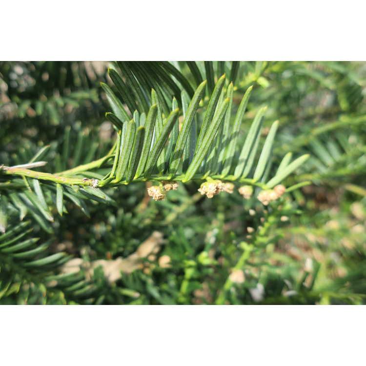 Cephalotaxus harringtonia 'Pedunculata'