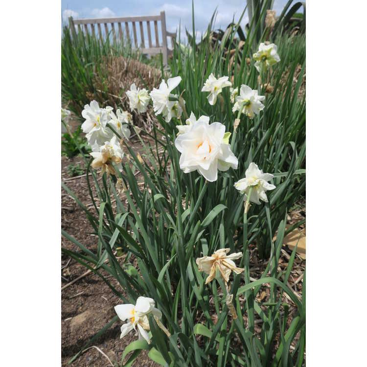 Narcissus Victoria von dem Busche