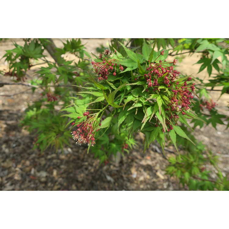 Acer palmatum 'Sekka Yatsubusa' - green-leaf Japanese maple