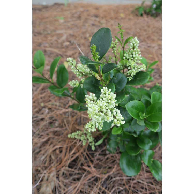 Ligustrum japonicum Little Moon