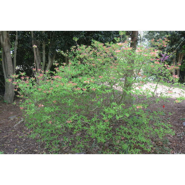 Rhododendron atlanticum Winterthur