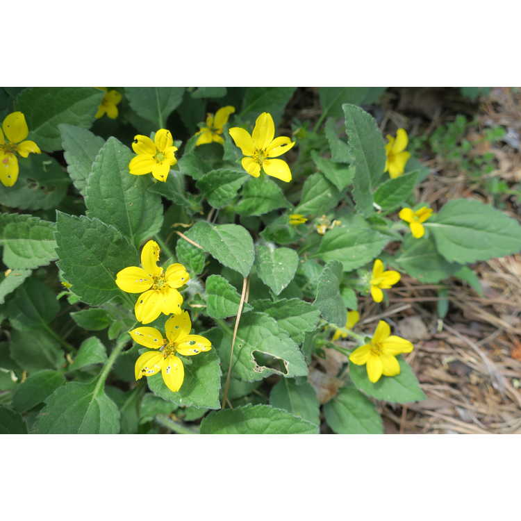 Chrysogonum virginianum 'Pierre' - green-and-gold