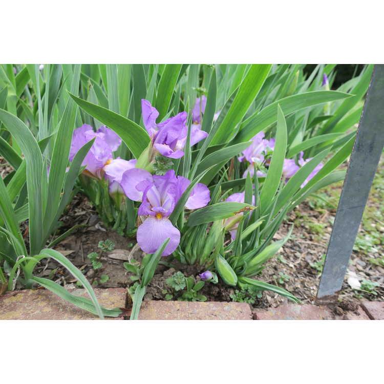 Iris Think Spring