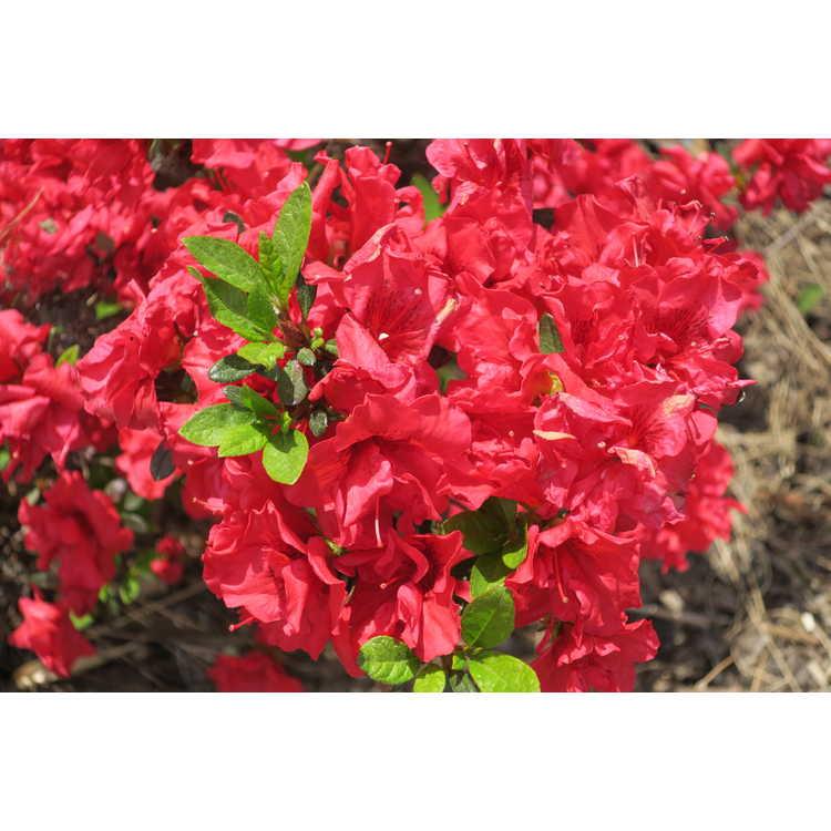 Rhododendron 'Roblez' - Autumn Fire Encore® azalea