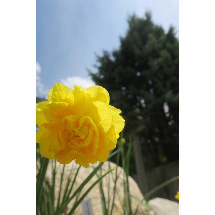 Narcissus 'Pencrebar' - double daffodil