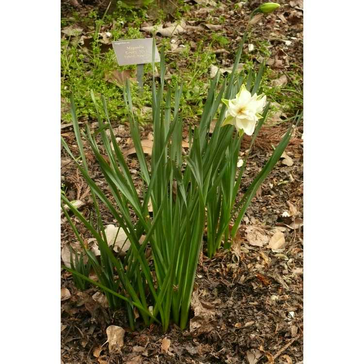 Narcissus 'Pink Paradise' - double daffodil