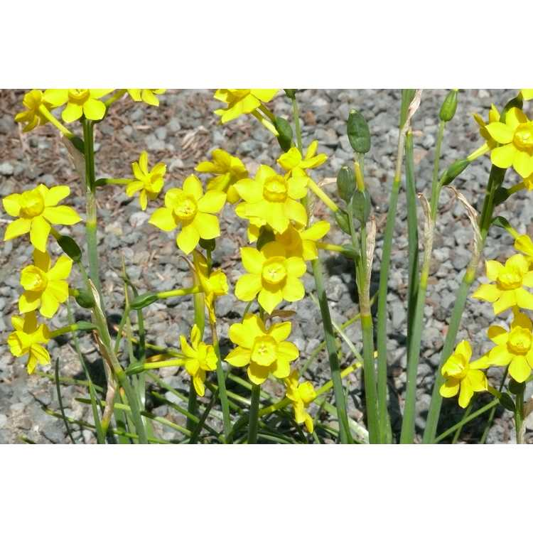 Narcissus Twinkling Yellow
