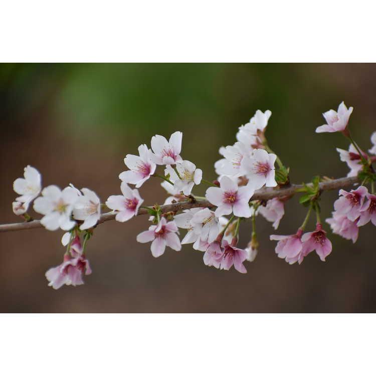 Prunus incisa Yamadei