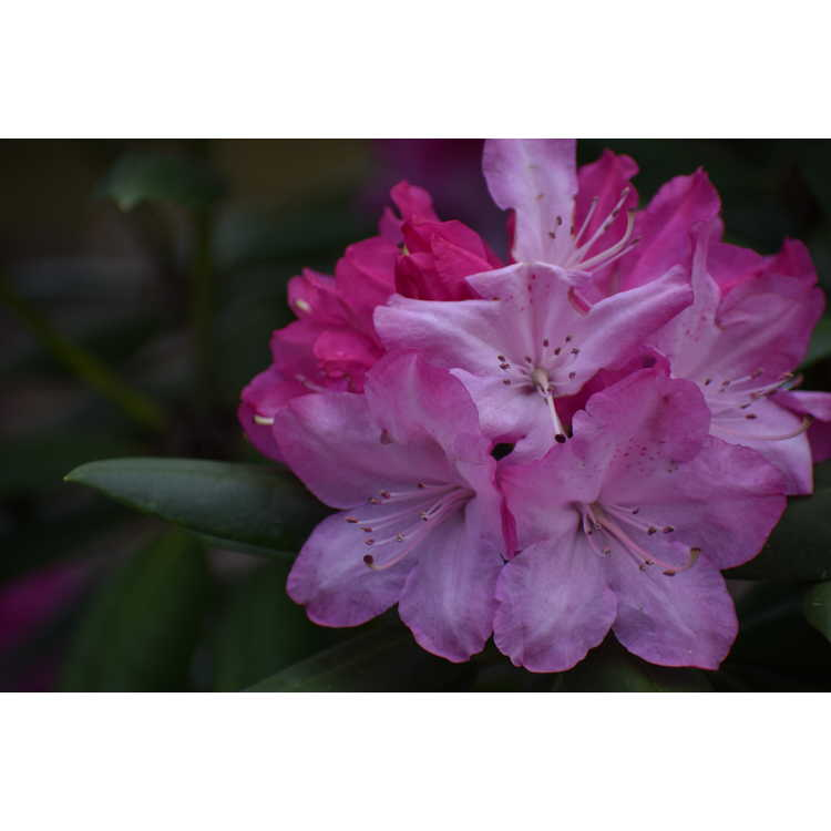 Rhododendron 'Brandi Michele Raley' - Southgate Brandi  rhododendron