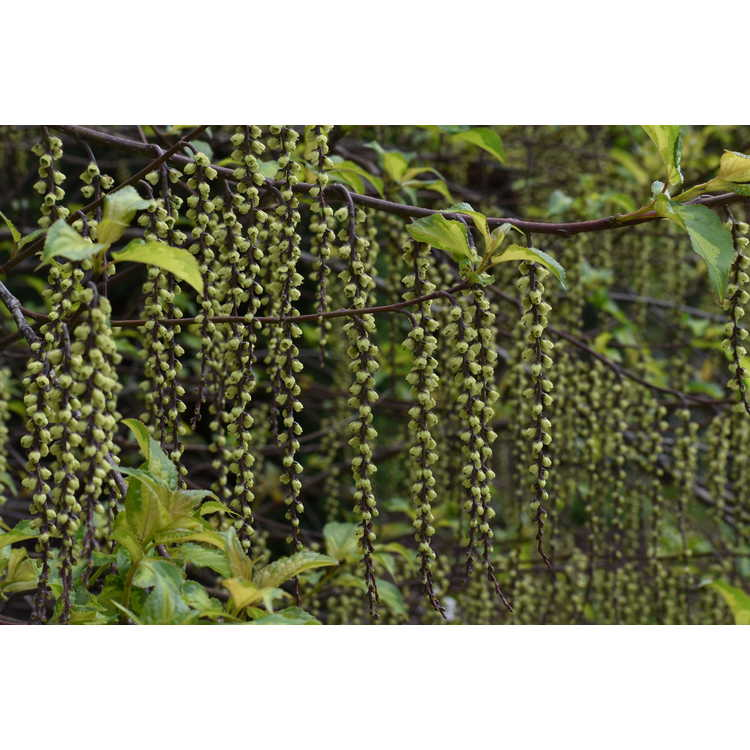 Stachyurus 'Carolina Parakeet' - variegated spike-tail