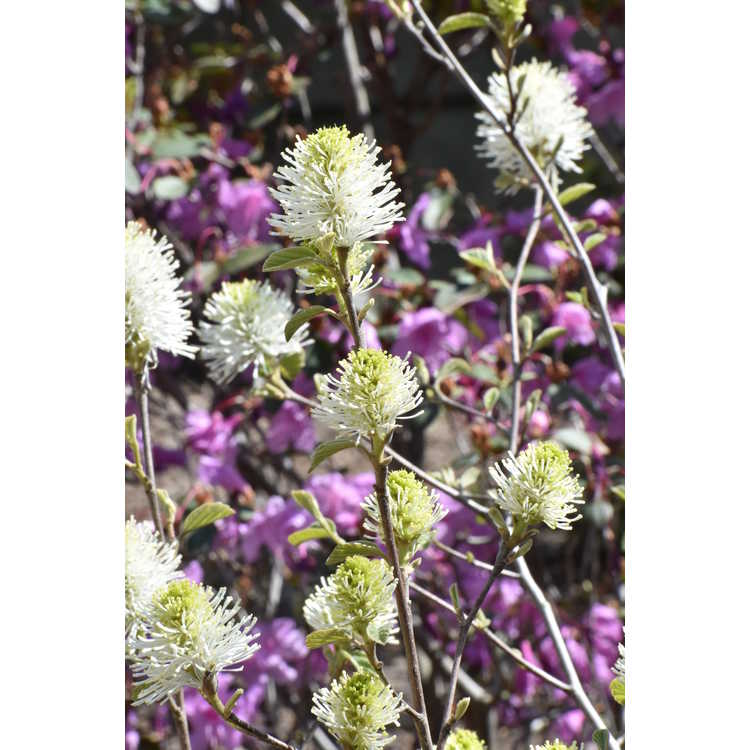 Fothergilla gardenii 'Chattanooga'