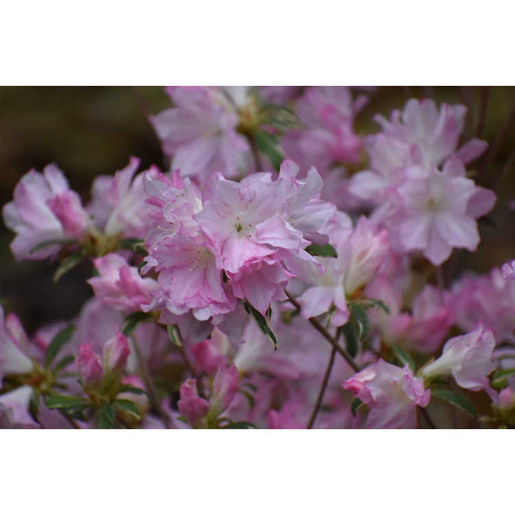 Rhododendron (variegated pink)