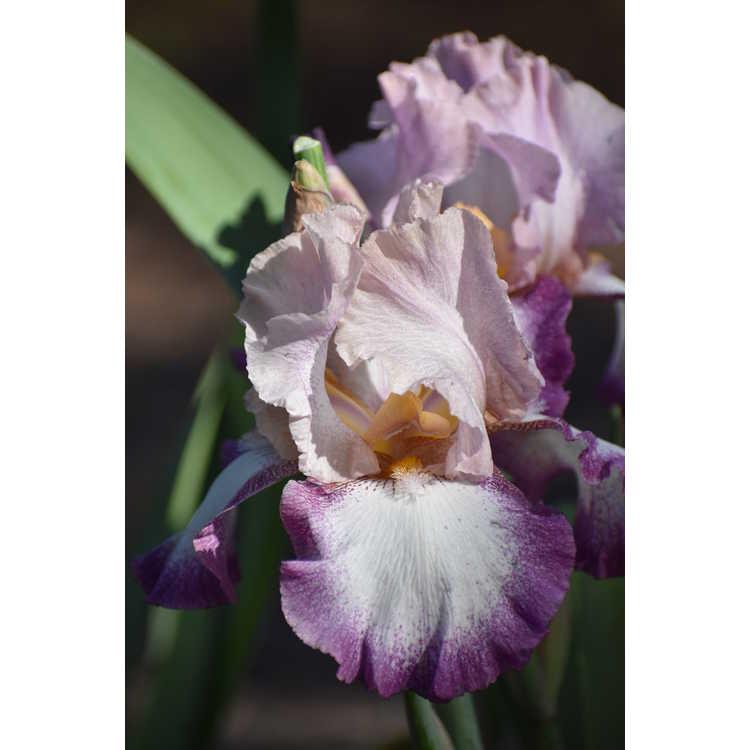 Iris 'Change of Pace' - tall bearded iris