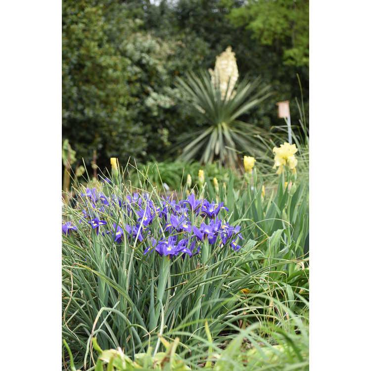Iris 'Blue Magic'