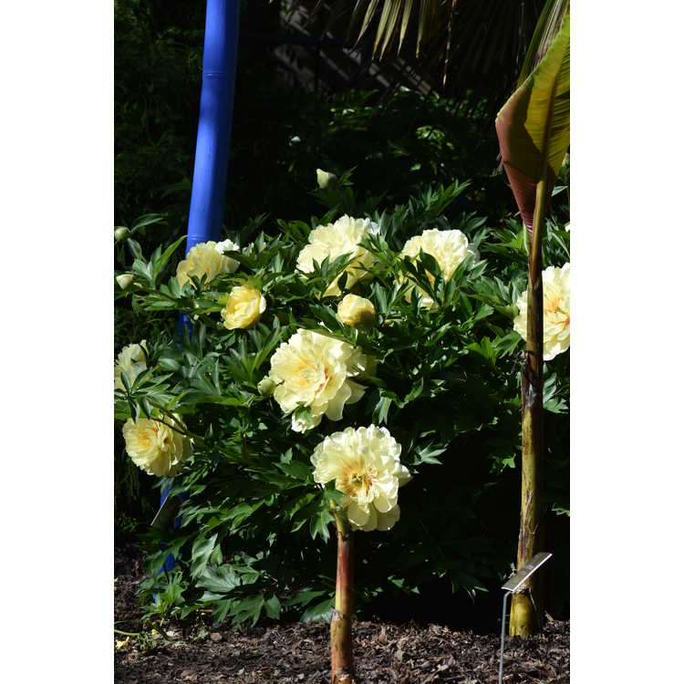 Paeonia 'Bartzella' - Itoh hybrid peony