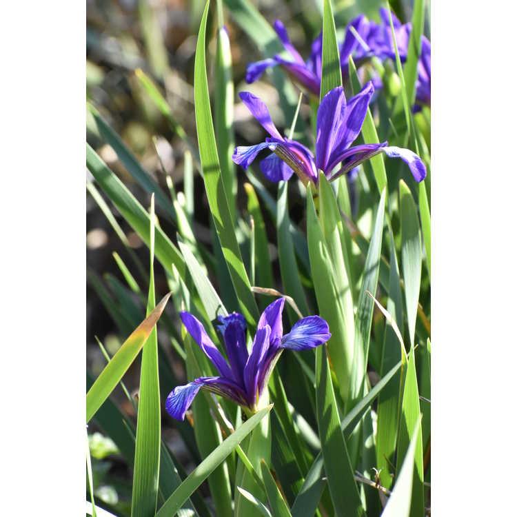 Iris graminea - plum-scented iris
