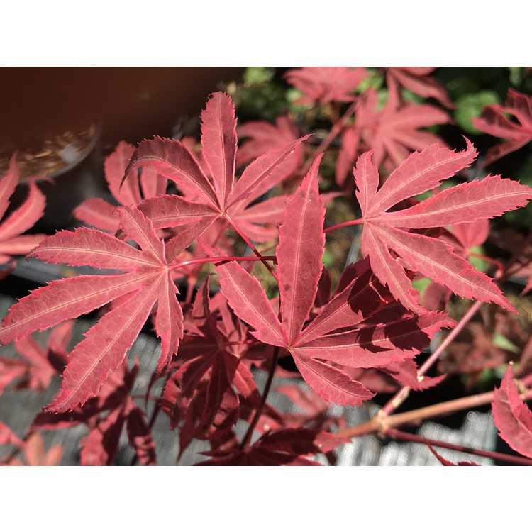 Acer palmatum 'Owen's Pink'