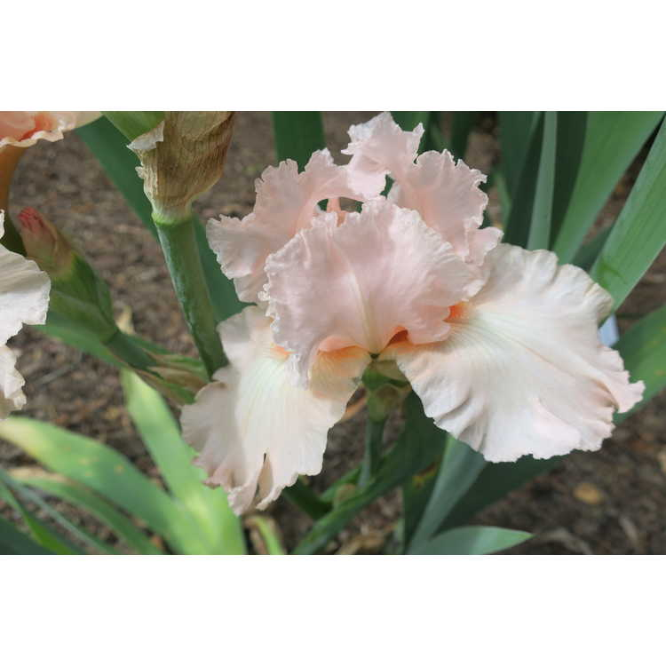 Iris 'Vision in Pink' - tall bearded iris