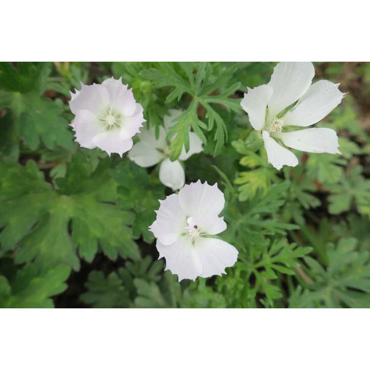 Callirhoe alcaeoides 'Logan Calhoun' - light poppy-mallow