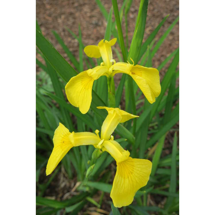 Iris 'Kimboshi'