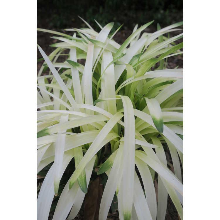 Liriope muscari 'Okina' - frosted clumping monkey-grass