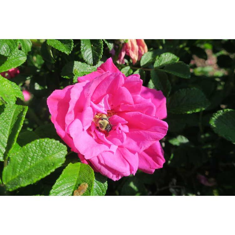 Rosa 'Moje Hammarberg' - hybrid rugosa rose