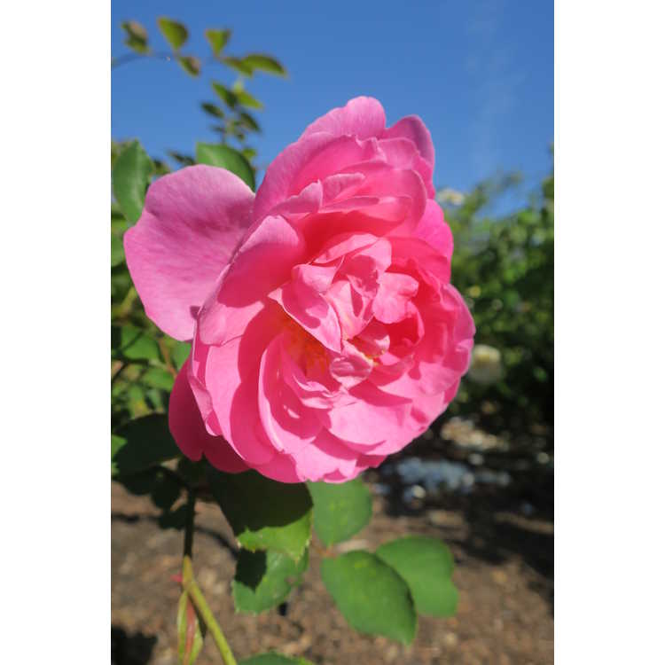 Rosa Auspaddle Royal Jubilee
