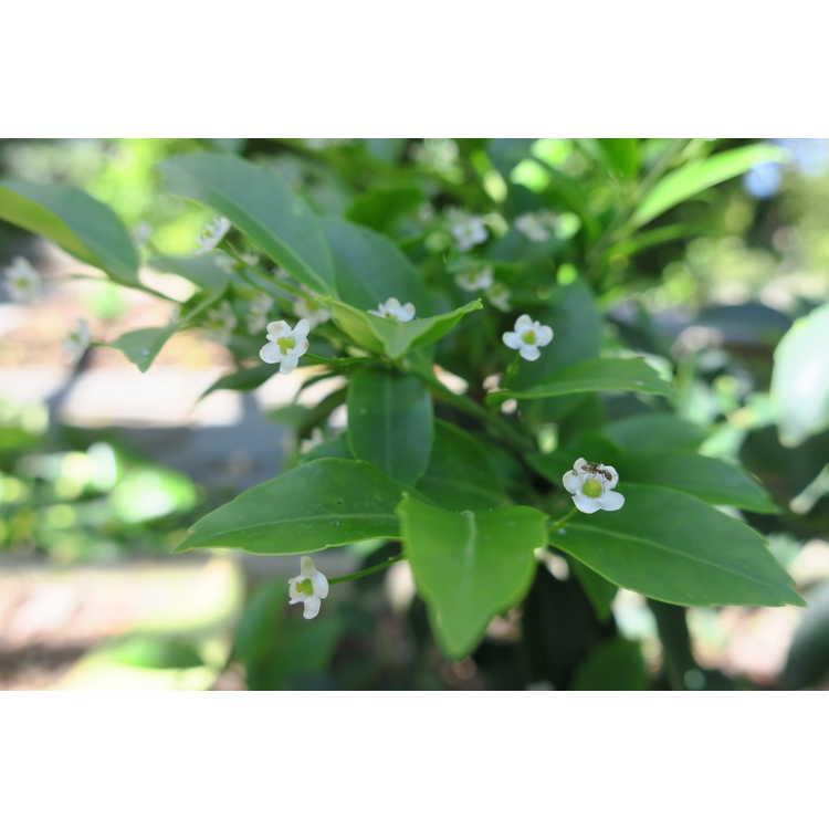 Ilex sugerokii longipedunculata