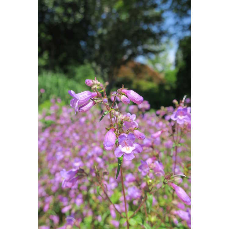Penstemon Grape Taffy