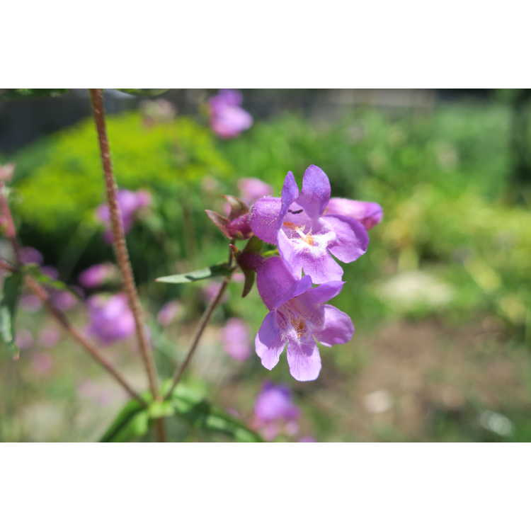 Penstemon 'Grape Taffy' - beardtongue