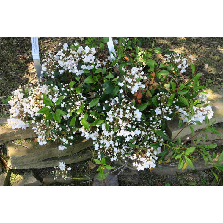Kalmia latifolia 'Croft Carpet'