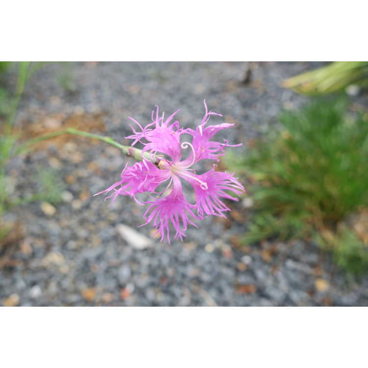 Dianthus longicalyx
