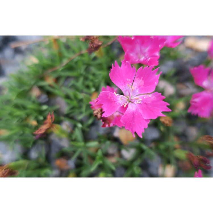 Dianthus superbus Holkahori Kahori