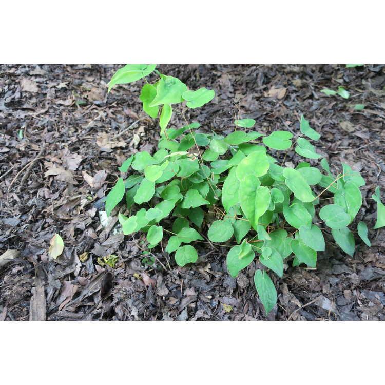 Epimedium ×youngianum 'Royal Flush'